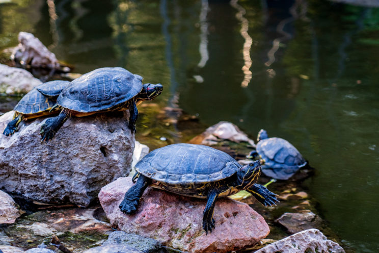 Turtles in National Garden